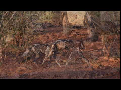 African Wild Dog Sounds