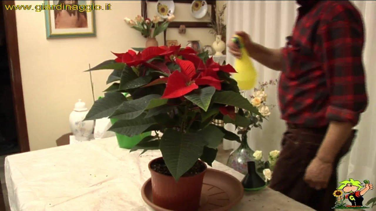 Come Mantenere Stella Di Natale.Coltivare Stella Di Natale