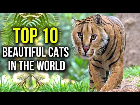 Top 10 Beautiful Cats In The World || Cutest Cats 2018