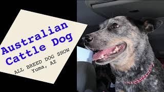 AUSTRALIAN CATTLE DOG  AB Dog Show November 2730, 2020