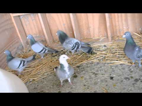 Stock birds in breeding loft of Ian Adriaanse (Paarl, South Africa)