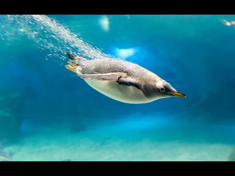 Penguins flying underwater at Sea World 2017 Orlando Florida