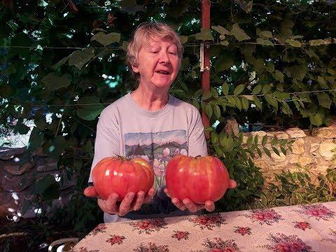 СУПЕР ТОМАТЫ РИМ! БОЛЬШЕ 1 Кг! ЛУЧШИЕ ТОМАТЫ – СНИМАЕМ УРОЖАЙ! ТопСад | выращивание | вырастить | помидоры | томатов | теплице | урожай | томаты | тома | как | в