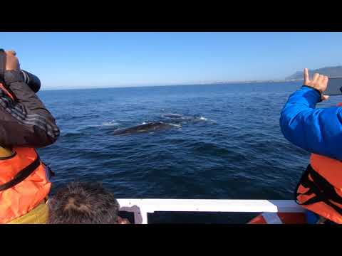 Southern right whale in Hermanus2