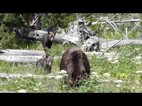 Yellowstone Grizzly Bear with Two Cubs