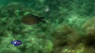Морская ласточка, монашка. Chromis chromis. Damselfish