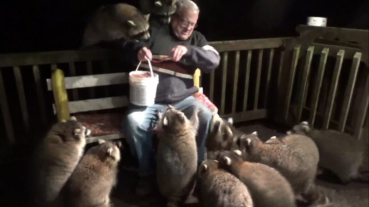 Mobbed by Raccoons  Again - download from YouTube for free
