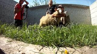Girl Shoots as Males Holding a White Sheep on Grass in Unfinished Building