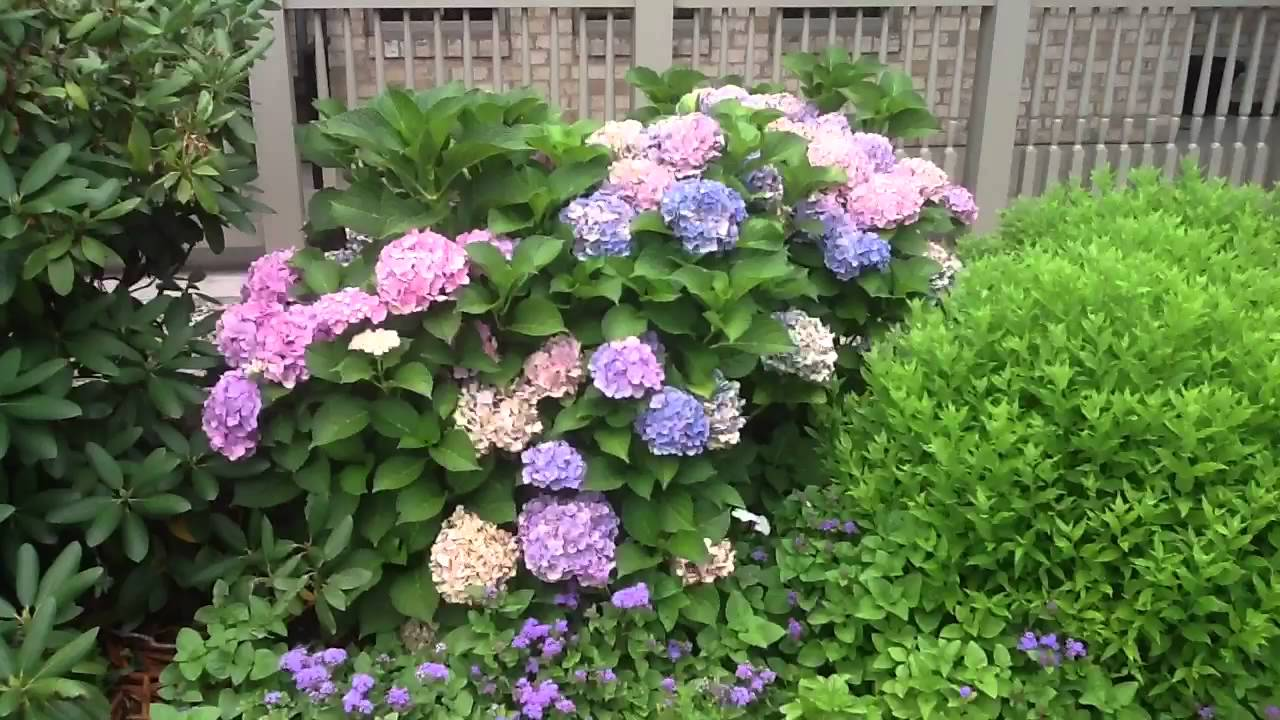 hydrangea forever and ever pink youtube. Black Bedroom Furniture Sets. Home Design Ideas