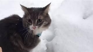 旅猫リポート 2017.12.12〜13 雪歩き編  ノルウェージャンフォレストキャットcat to travel.Norwegian Forest Cat. thumbnail