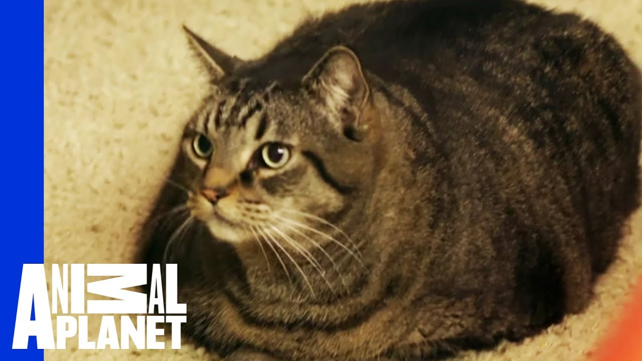 Beau Nugget The Cat Starts His Difficult Weight Loss