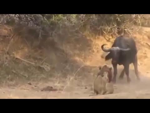 BUFFALO VS LION , LION LOST
