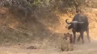 BUFFALO VS LION , LION LOST