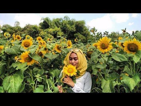 tempat-selfie-ngehits-wisata-yogyakarta-taman-bunga-matahari-sanden-jjls-bantul