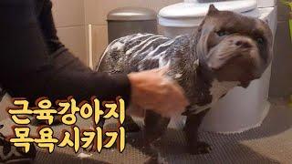 아메리칸불리 / 근육강아지 목욕시키기  / 대형견 목욕…