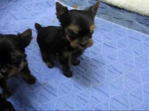 6 Week Old Yorkie Puppies Youtube