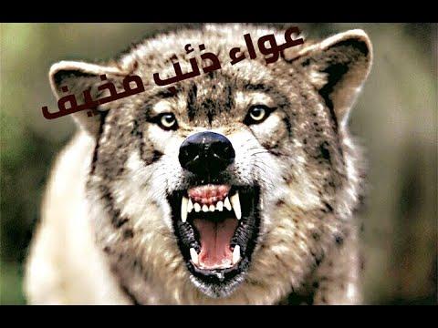صوت الذئب كلمات متقاطعة Youtube
