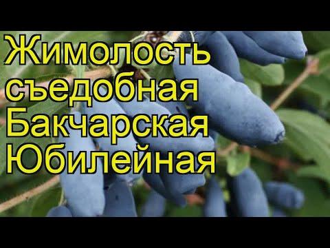 Жимолость съедобная Бакчарская Юбилейная. Краткий обзор, описание характеристик, где купить саженцы