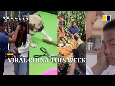 Viral China This Week - A 'Rock, Paper, Scissors' playing pug, a lost tiger and more