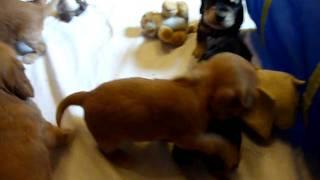 English Cocker Spaniel Welpen 4 Wochen / H-wurf