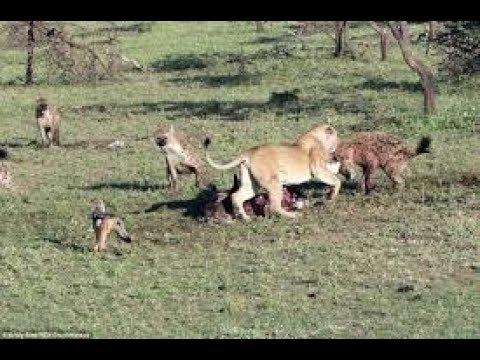 Animals Documentary - Africa Hyenas predator - Nat Geo Wild