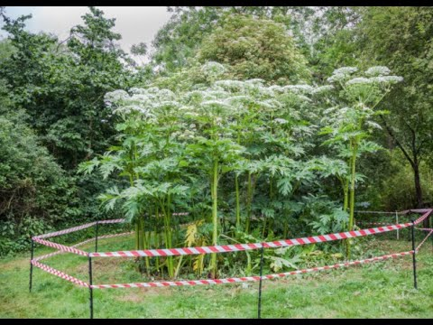 UK Parents Give A Warning About The Giant Hogweed Plant