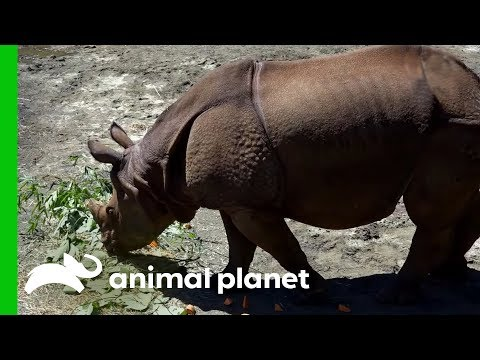 Asian One-Horned Rhino Gets Settled Into Her New Home | The Zoo