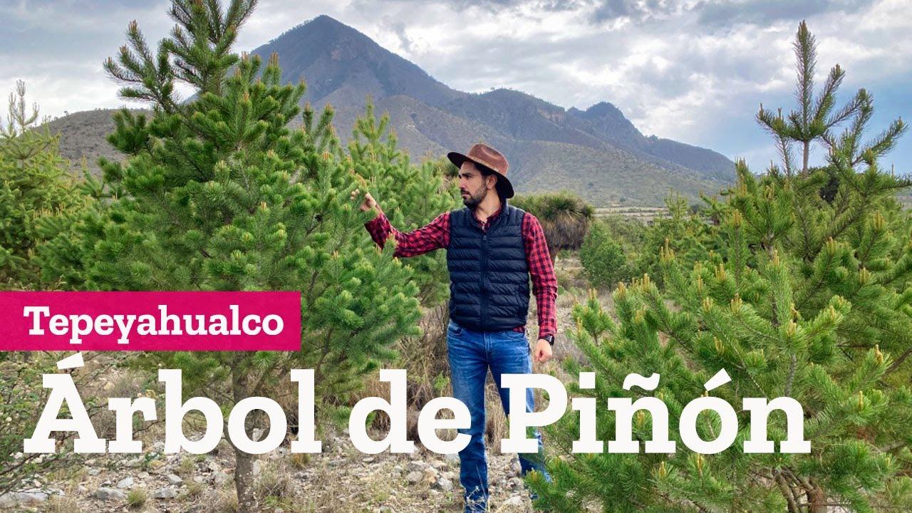 El árbol de piñón en Tepeyahualco Puebla