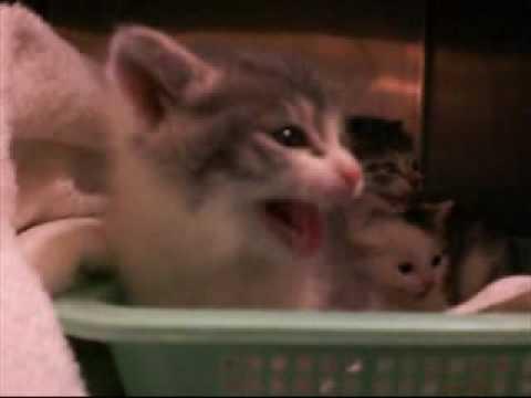 Hissing Kittens