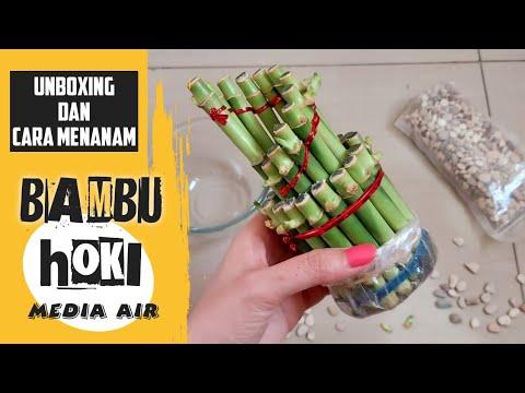 bambu-hoki-|-unboxing-dan-cara-menanamnya-dengan-media-air-|-shopee-haul-bambu-hoki---part-1