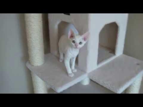 12 Week Old Devon Rex Kitten - First Day Home