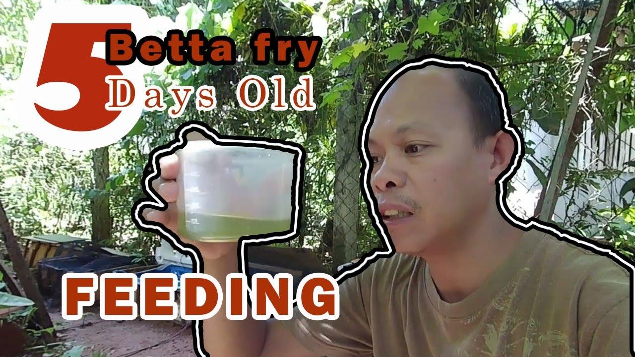Betta fry feeding 5 Days old Green Algae increase betta fry survival rate