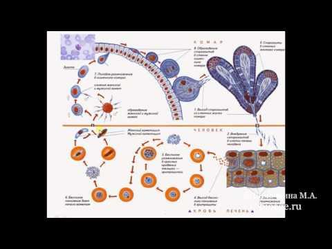 Биология в картинках: Цикл развития малярийного плазмодия (Вып. 3)