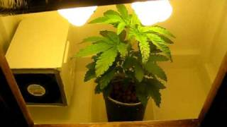 Stealth Grow Box Lemon Skunk!!!