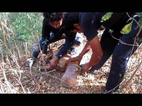 Wild dog suffocating in plastic jar rescued