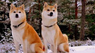 видео Собака Сиба-ину (шиба-ину): описание породы, фото, цена щенков, отзывы