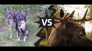 Охота на лося с Лайками 2019