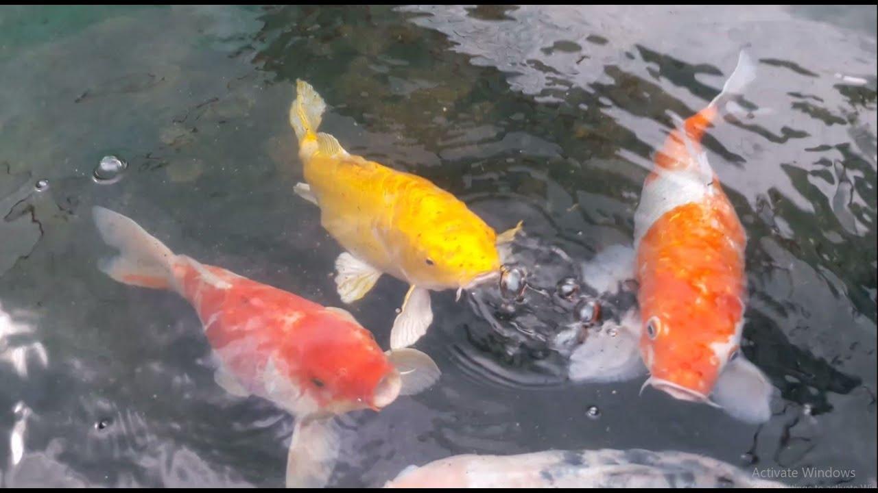 Naqda Ornamental Fish Breeding And Training Center Randenigala Dambulla Sri Lanka Youtube