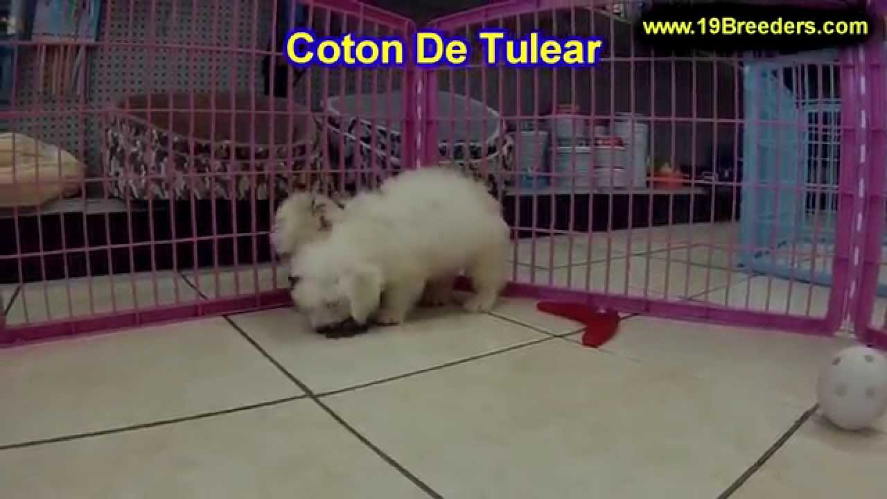 Coton De Tulear, Puppies, Dogs, For Sale, In Charleston ...