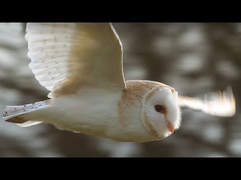 download Slow-Mo Barn Owl in Flight | Unexpected Wilderness | BBC Earth