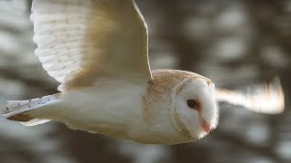 Slow-Mo Barn Owl in Flight - Unexpected Wilderness - BBC
