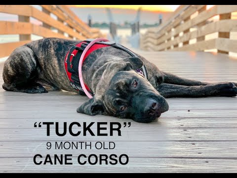 Cane Corso Puppy 'Tucker' | Incredible Obedience | Hampton Roads Dog Training