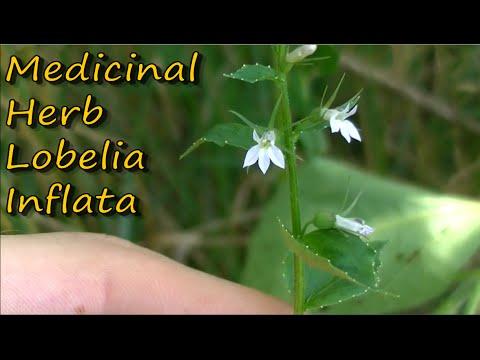 How To Make Lobelia Tincture