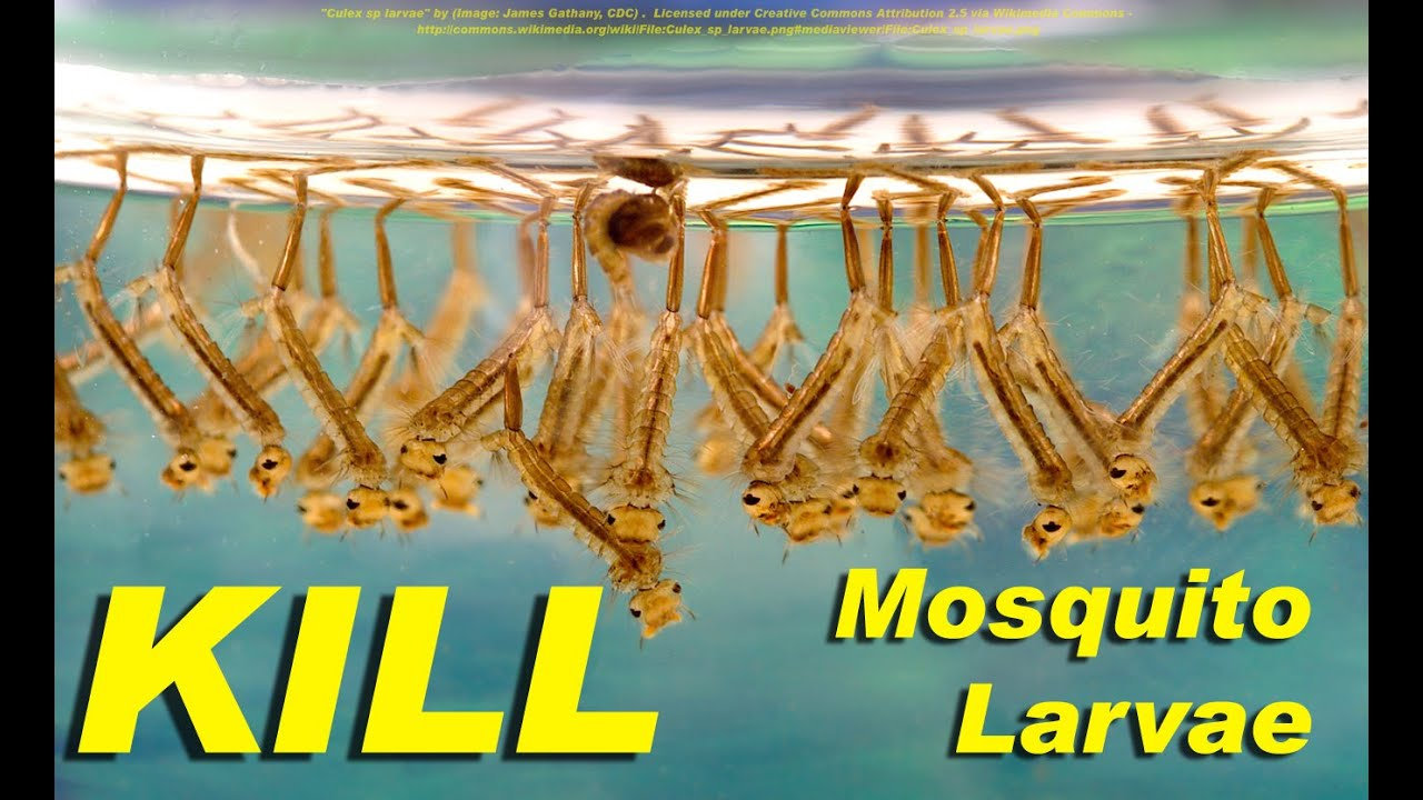 NEW! - Kill mosquito larvae naturally with this weird trick - including  Zika Virus species