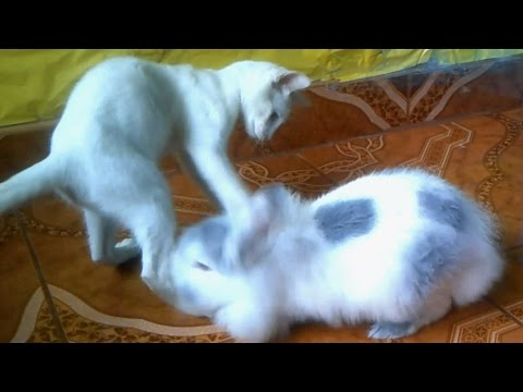 gato-peleando-con-conejo-/-funny-rabbit-fight-with-kitten-/-conejos-chistosos