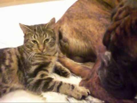 cat attacks dog  - Leo VS Boy - Bengal VS Boxer