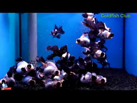 Such As The Panda Butterfly Tail / Goldfish Club