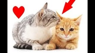 Funny Cats React To Kisses