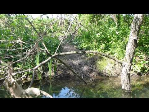 Na reki Krki živijo Bobri (Castor sp.)