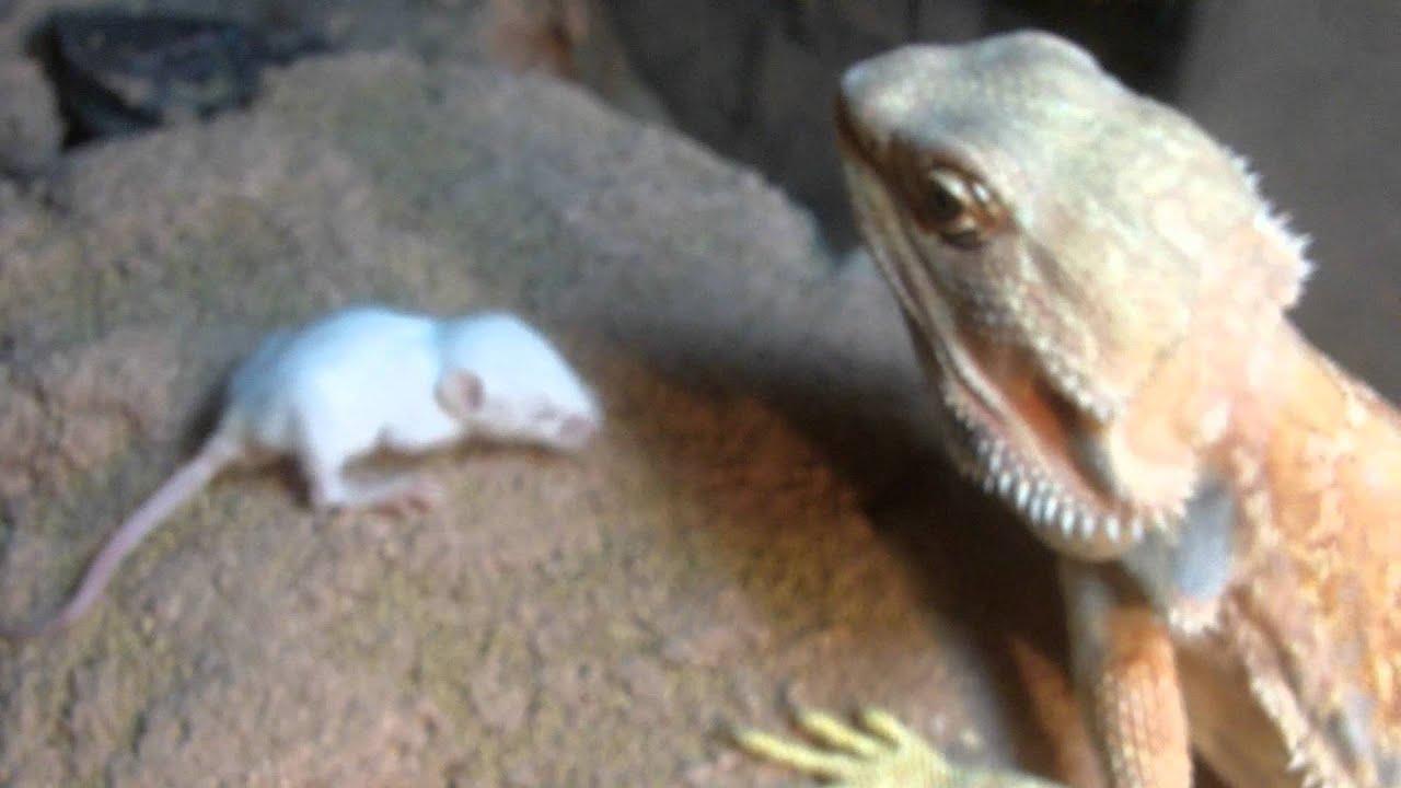 Bearded Dragon Eats 2 Pinkie Mice Youtube